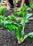 chard frontowe ogrodniczki ręki Fotografia Royalty Free