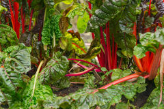 Chard growing in a garden Royalty Free Stock Photography