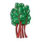Chard - hand isolerad dragen grönsak Royaltyfria Foton