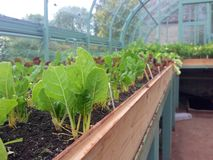 Chard and lettuce plants in a greenhouse. A long view of the inside of a greenhouse with chard plants in the foreground and lettuce in the background Royalty Free Stock Photography