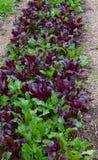 Chard ogród zdjęcie stock