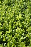 Chard vegetables field, green vivid countryside. Royalty Free Stock Photos