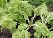 Chard with white stems growing in the garden Stock Photo