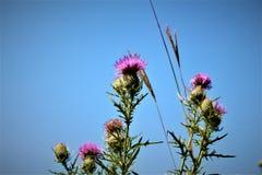 Chardon écossais Photo libre de droits