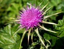 Chardon élégant de vert de fleur Photographie stock