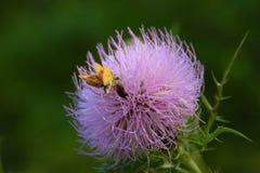 Chardon canadien en pleine floraison Image libre de droits