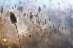Chardon d'automne avec les découpes blanches de la lumière arrière images libres de droits
