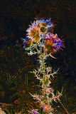 Chardon dans la lumière infrarouge Photos libres de droits