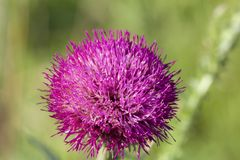 Chardon de floraison Avec des d?tails fleurissez photos stock