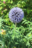 Chardon de globe bleu (bannaticus d'Echinops) Photo stock