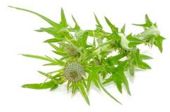 Chardon de lait (Silybum Marianum) Images stock