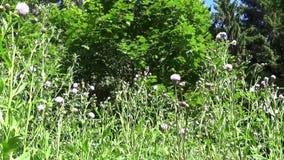 Chardon de rampement ou truie-chardon rose Appareil-photo de mouvement d'enregistrement vidéo d'arvense de Cirsium de Bloosoming banque de vidéos