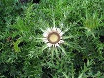Chardon en fleur photo libre de droits