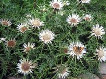 Chardon en fleur 2 images stock