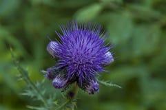 Chardon ensoleillé de clairière et de fleur de montagne ou fin pourpre sauvage de fleur, montagne de Rila Photo stock