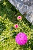 Chardon et abeille de floraison rassemblant le pollen images libres de droits