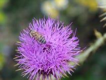 Chardon et abeille photos libres de droits