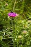 Chardon et l'abeille Photographie stock libre de droits