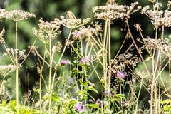 Chardon et mauvaises herbes Images stock
