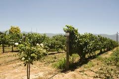 Chardonay vineyard Stock Image