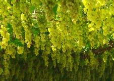 Chardonnay. жать виноградины Стоковая Фотография RF