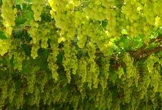Chardonnay. жать виноградины Стоковое Фото