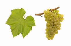 Chardonnay bianco fotografia stock libera da diritti