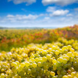 Chardonnay che raccoglie con il raccolto degli acini d'uva fotografia stock