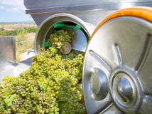 Chardonnay corkscrew crusher destemmer in winemaking. With grapes Stock Images