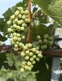 Chardonnay Druiven Royalty-vrije Stock Afbeeldingen