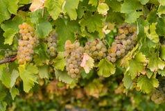 Chardonnay druiven op wijnstok Stock Afbeelding