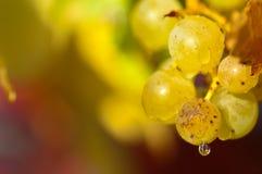 Chardonnay druvor Arkivfoto