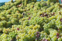 Chardonnay. Fresh harvested Chardonnay in Croatia stock image