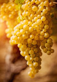 Chardonnay grape Royalty Free Stock Photo
