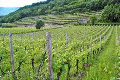 Chardonnay grape vines. In the spring campaign in the Trentino Altoadige royalty free stock photos