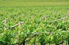 Chardonnay grape vines. In the spring campaign in the Trentino Altoadige stock images