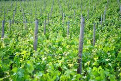 Chardonnay grape vines. In the spring campaign in the Trentino Altoadige stock image