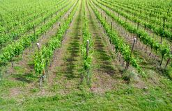 Chardonnay grape vines. In the spring campaign in the Trentino Altoadige stock photos