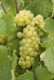 Chardonnay grapes Royalty Free Stock Photos