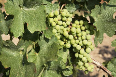 Chardonnay Grapes Royalty Free Stock Image