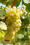 Chardonnay Grapes Royalty Free Stock Photography