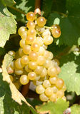 Chardonnay Grapes Stock Photography