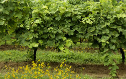 Chardonnay grapes growing on vines in a vineyard with yellow poppies in foreground Stock Images