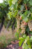 Chardonnay grapes in Hungary Royalty Free Stock Photos