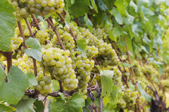 Chardonnay grapes on vine. Clusters of Chardonnay grapes on the vine disappearing out of focus. Room for text Stock Images