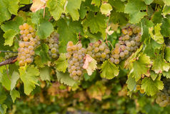 Chardonnay grapes on vine Stock Image