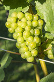 Chardonnay Grapes in a Vineyard #3 Royalty Free Stock Photography