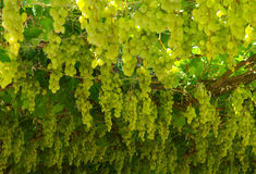 Chardonnay. harvesting grapes. Plantation chardonnay grapes at harvest time Stock Photo