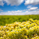 Chardonnay harvesting with wine grapes harvest Royalty Free Stock Photo