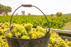 Chardonnay harvesting with wine grapes harvest Stock Photos